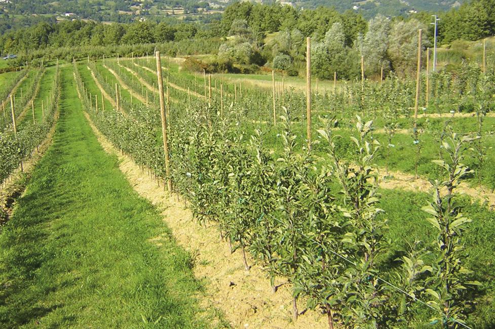 Melise attivit e prodotti - Mele fuji coltivazione ...